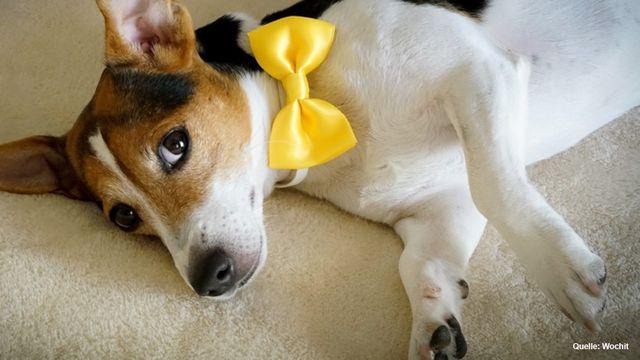 Gelbe Schleife an Halsband oder Leine: Das bedeutet das Hunde-Accessoire