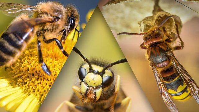 Wespen, Bienen, Hornissen: Können Sie sie unterscheiden?